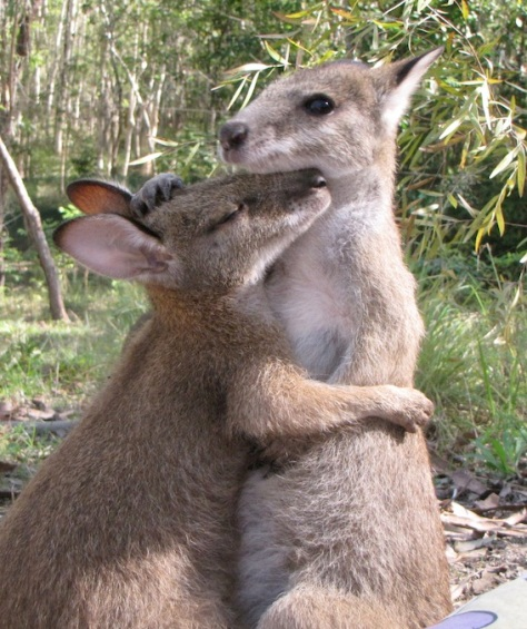 We find it incredibly important to buddy our wallabies up as soon as possible. This alleviates a lot of the stress of being orphaned and helps them integrate into a mob.
