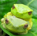 Graceful tree frogs in amplexus