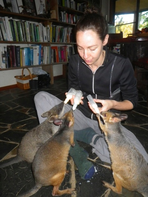 Claire feeding a swamp wallaby and two pademelons (rainforest wallabies)