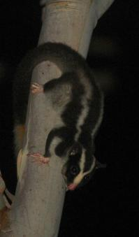 Striped possum on Sheoak Ridge. Photography by Ian Paul Markham http://ianmarkhamphotography.com/
