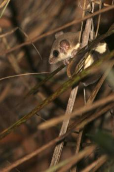 Feathertail Glider at Sheoak Ridge - Photography by Ian Paul Markham http://ianmarkhamphotography.com/