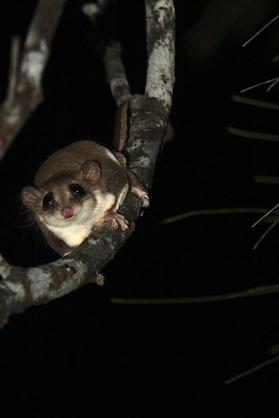 Feathertailed glider at Sheoak Ridge Photography by Ian Markham http://ianmarkhamphotography.com/