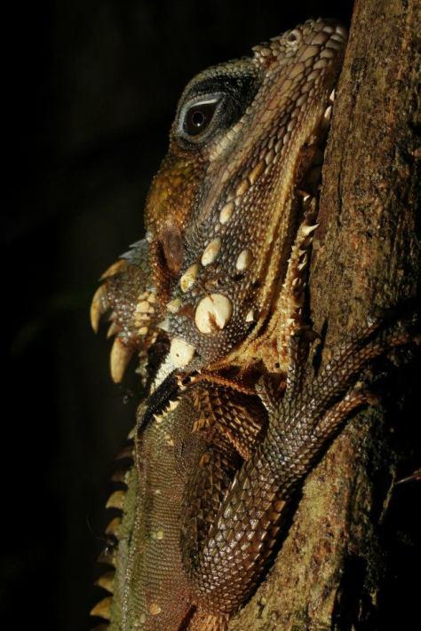 Boyd's Forest Dragon at Sheoak Ridge Photography by Ian Markham