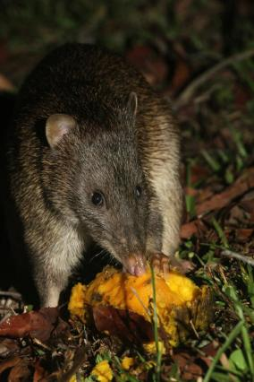 A northern brown bandicoot feasting on a fallen mango at Sheoak Ridge Nature Reserve. Photography by Ian Paul Markham http://ianmarkhamphotography.com/