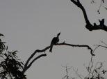 Friarbird calling