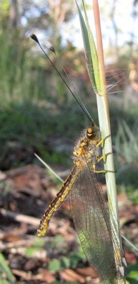 Owlfly Family Ascalaphidae
