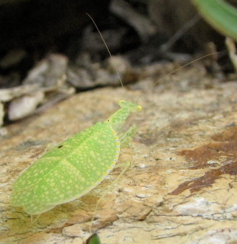 Netwinged mantis