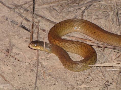 Keel-back snake
