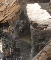 Northern quoll in care at Sheoak Ridge