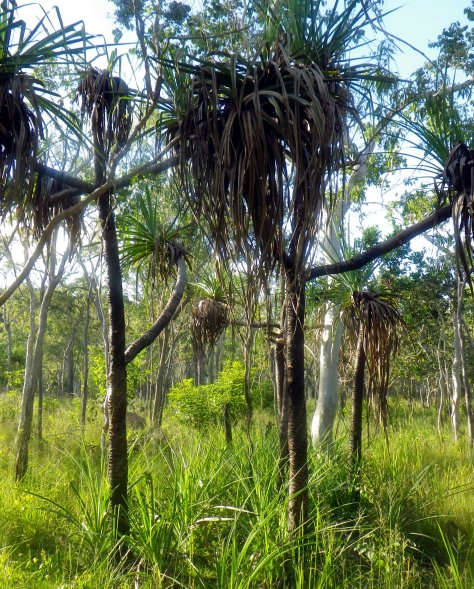 Pandanas recovering after a dry-season controlled burn.