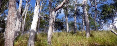 White Mahogany  Woodland