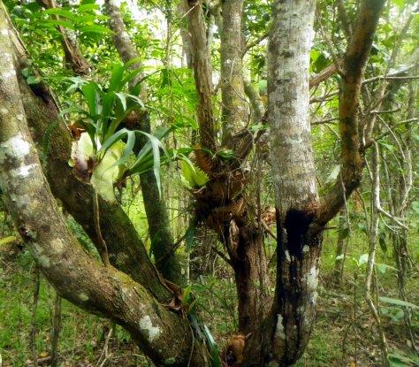 Epiphyte ferns (Drynaria regidula, Platycerium hillii, Pyrrosia sp. ) growing low on an Acacia.