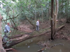 Going for a walk in the rainforest includes walking on a natural log bridge.