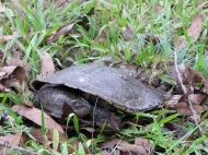 A saw-shell turtle laying eggs on our front lawn at Sheoak Ridge Nature Reserve