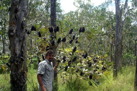 banksia robur wild1