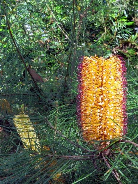 banksia spinulosa dark