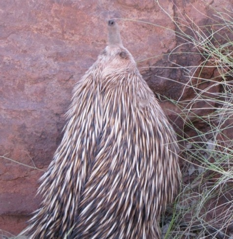 An echidna smelling the breeze