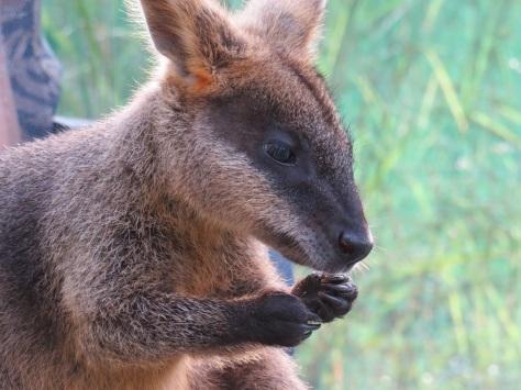 Swamp wallaby at Sheoak Ridge