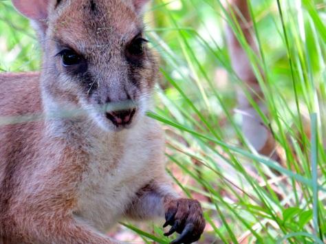 An agile wallaby at Sheoak Ridge
